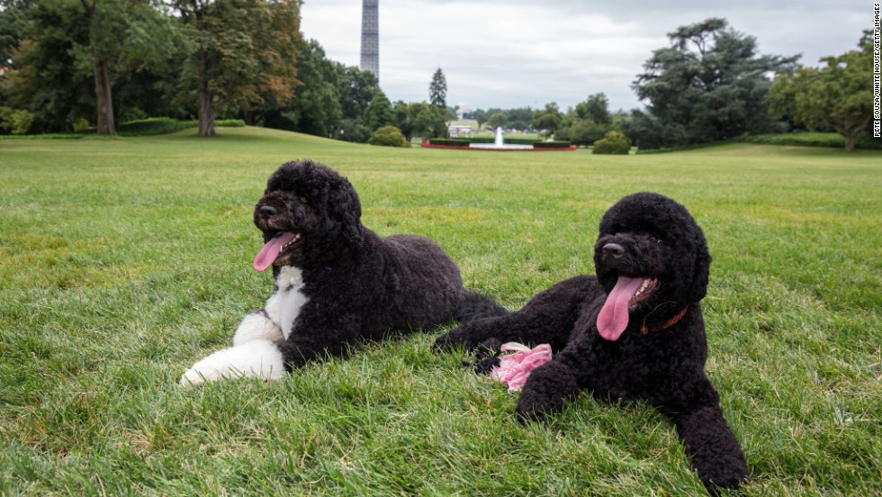 Bo and Sunny lie on the South Lawn of the White House on August 19, 2013.