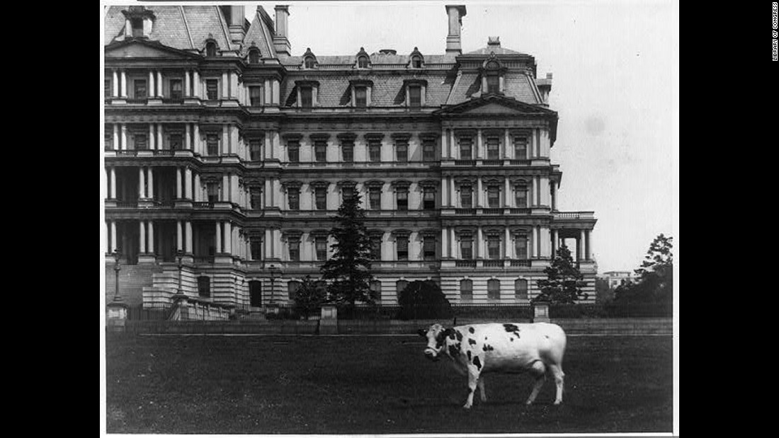 President William Howard Taft's pet cow, Pauline, stands on the lawn of the State, War and Navy Building in Washington.