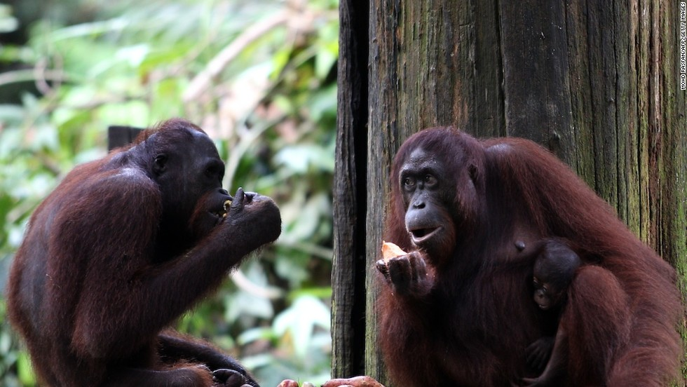 The quintessential Malaysian Borneo experience -- playing with primates at the Sepilok Orangutan Sanctuary.