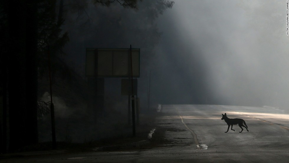 A coyote walks across U.S. Highway 120, shut down due to the fire, near Groveland, California, on August 23.