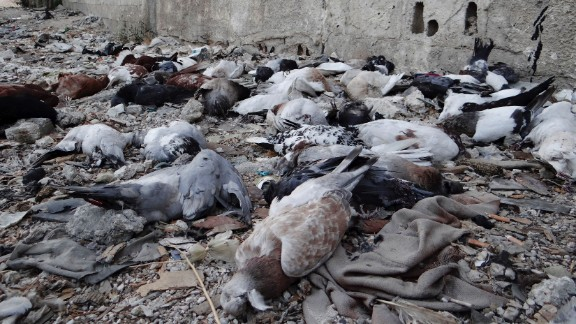 Pigeons lie dead on the ground on August 24 from after what activists say is the use of chemical weapons by government forces in the Damascus suburb of Arbeen.