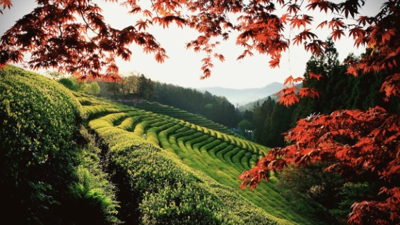 Approximately 40% of Korea's tea is produced in the rolling fields of Boseong, which have also provided the backdrop of many Korean dramas and films.