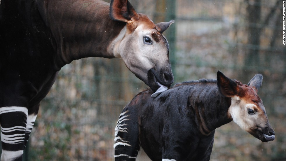 One of the country's most famous native animals is the shy, endangered okapi.