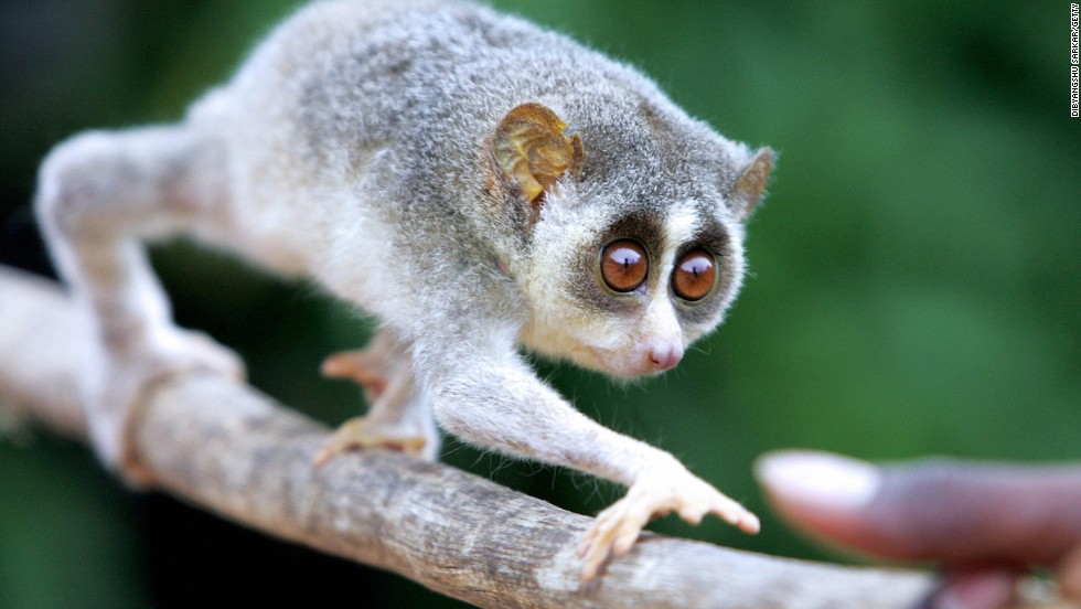 Never mind if they're endangered, when we finally use freeze-dried sperm to populate another planet with animals from Earth, they just need to be cute. The slow loris accomplishes both.