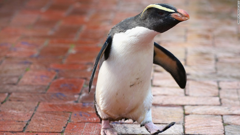 This little penguin looks like it's just heading to work. If it had a tiny briefcase the entire Internet would break.