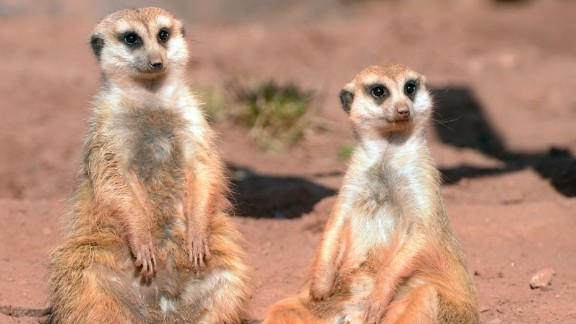 Very few animals can get their own reality TV show. Somehow, the meerkats pulled it off. Who