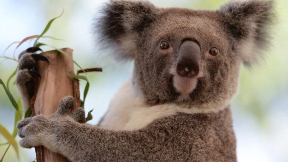 Life is difficult for koalas. Imagine if you spent most of your life drunk in a tree. Hey, just messing with you, koalas. You
