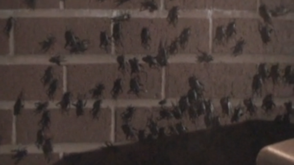 How many crickets can you count? Chris McBee captured video of them in Norman, Oklahoma, on Tuesday.