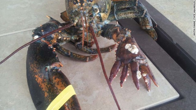 Pictured here is Lola, the 6-clawed lobster (4lbs) that arrived at the Maine State Aquarium on June 5, 2013. This claw deformity is a genetic mutation.