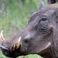 ugly animals warthog