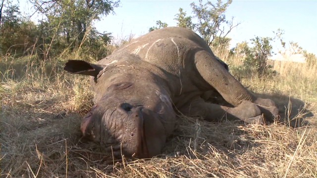 Trying to save South Africa's rhinos