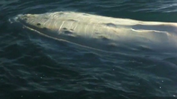 early rare albino whale_00000320.jpg