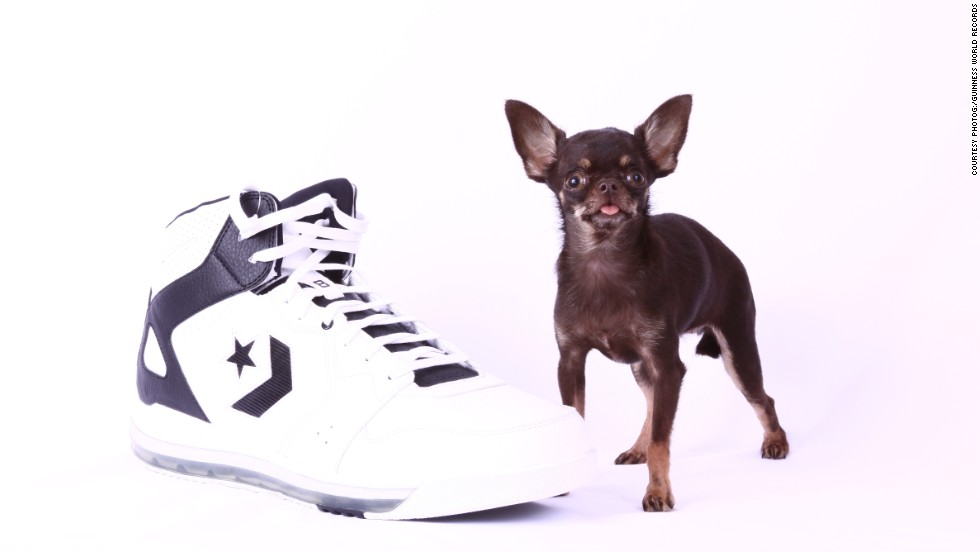 The smallest living dog, in terms of height, is a female Chihuahua called Milly, who measured 3.8 inches (9.65 centimeters) tall on February 21 and is owned by Vanesa Semler of Dorado, Puerto Rico.