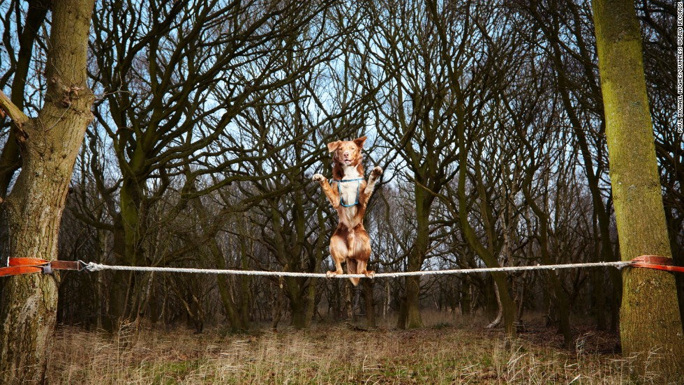 The fastest crossing of a tightrope by a dog was 18.22 seconds and was achieved by Ozzy, a Border Collie/Kelpie crossbreed, on February 1, at F.A.I.T.H. Animal Rescue, Norfolk, United Kingdom.
