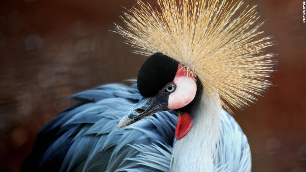 Lions, gazelles, giraffes, antelope and zebras live in the park -- as does the East African crested crane, pictured.
