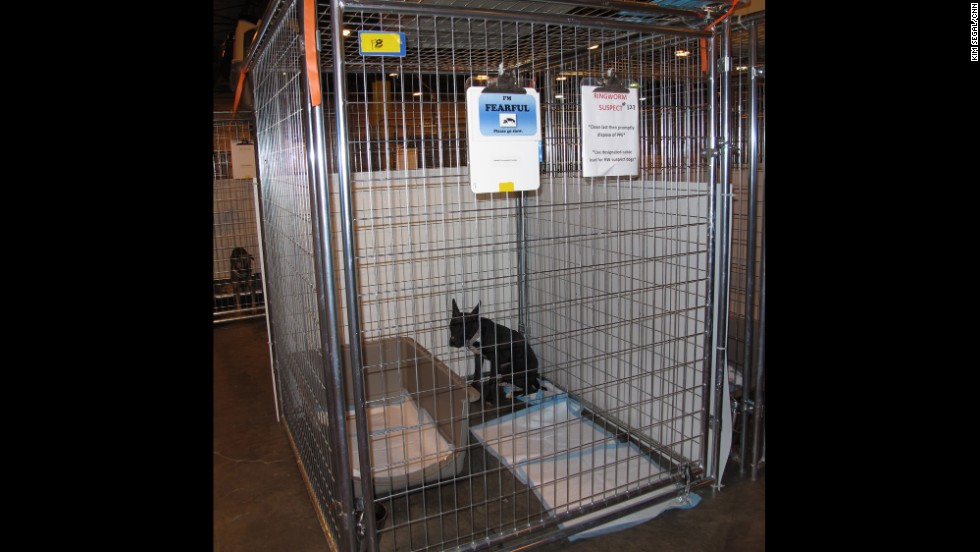 "This black pit bull mix panics at the sight of a person. His ears stand straight up and he cowers in the corner of his cage as his body trembles. The sign on his cage says., ""I¹m FEARLFUL, please go slowly."