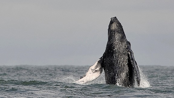 Between June and November, humpback whales undertake a seasonal migration from the Antarctic Peninsula to the equatorial coast of Colombia to breed, feed and rest.