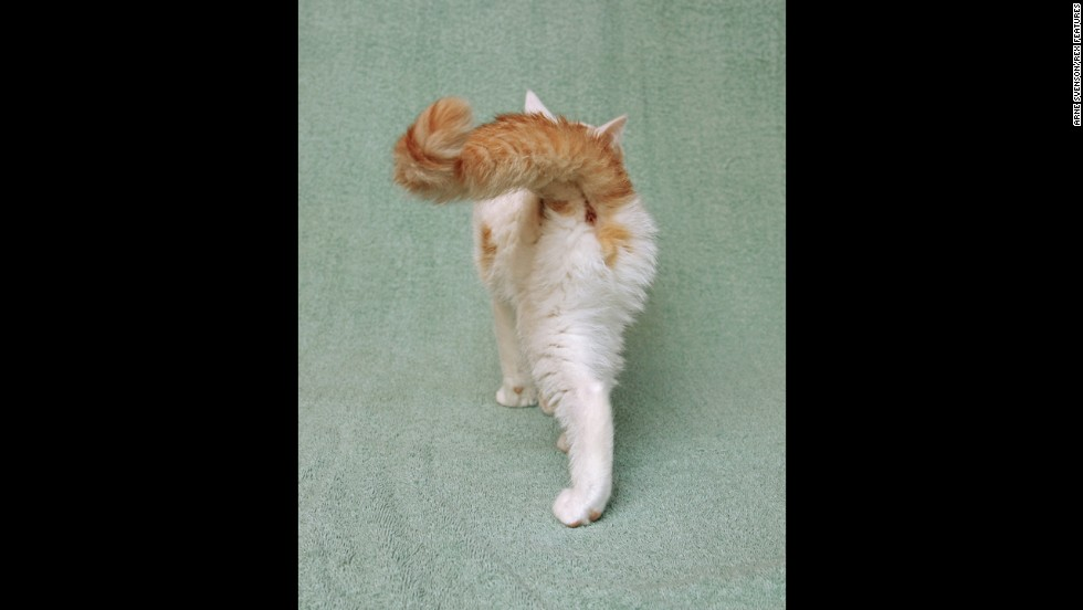 A sassy orange and white kitten waves his tail on a terry cloth background.