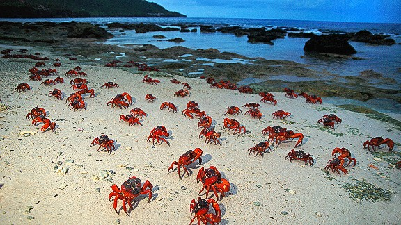 Millions of red crabs living on Australia's Christmas Island make their way to the sea to mate and, eventually, lay their eggs.