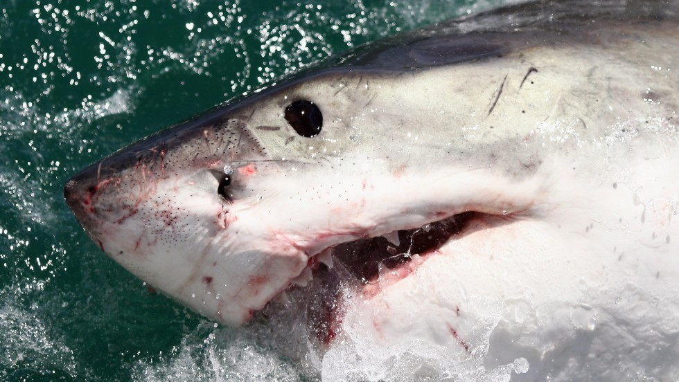 Researchers are tracking a great white shark in Long Island Sound