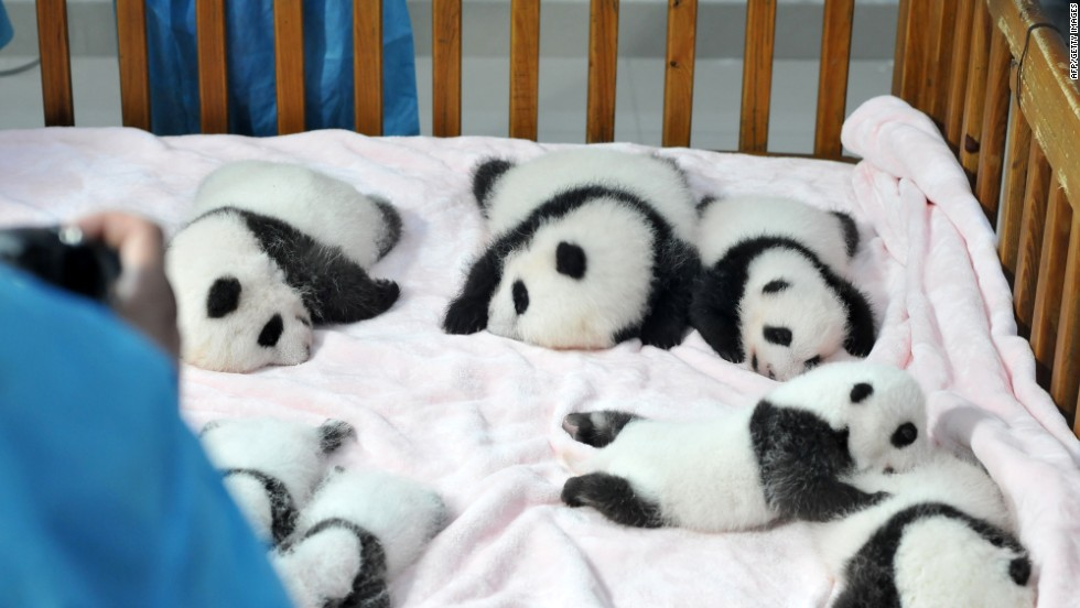 The endangered pandas are extremely difficult to care for at birth, with 60 to 70 percent dying within the first week. In the wild, newborns risk being accidentally crushed by their mothers.