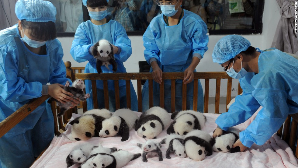 With less than 2,000 giant pandas in the wild population worldwide, the Chengu Panda Base (founded in 1987) rescued six giant pandas from the wild and have been increasing the captive population ever since.