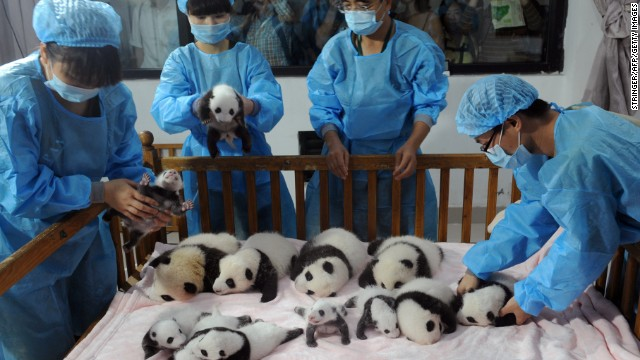 New-born panda cubs, like these at the Chengdu Research Base of Giant Panda Breeding, look cute in a crib. But we don't know how good they are at predicting World Cup wins