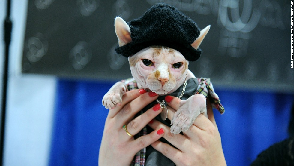 "Some of the fanciest cats and sharpest dogs in New York City showed up for the Haute Kitty CATure Feline & Canine Fashion Show on September 28 at the American Kennel Club's ""Meet The Breeds"" showcase at Jacob Javits Center. Here, a sphynx cat wears a knit cap and plaid jacket for a distinctly urban look."