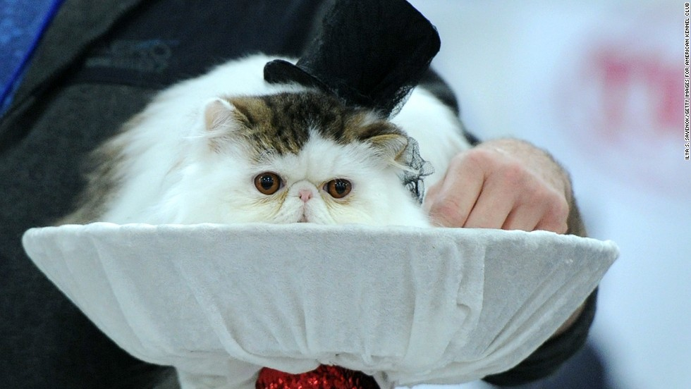This fluffy customer knows that a grand affair always calls for a top hat.