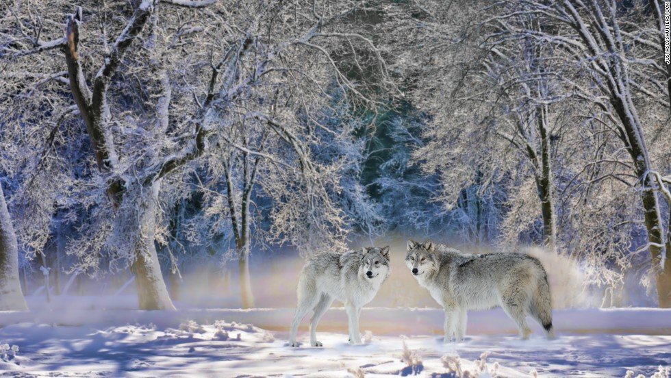 That predators are in demand is partly due to the success of re-introducing wolves to Yellowstone National Park.