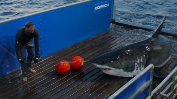 """Since launching in 2007, Ocearch has tagged over 100 sharks. But it wasn't until National Geographic started featuring the team in TV series """"Shark Men,"""" that McBride gained """"superhero"""" status among fans."""