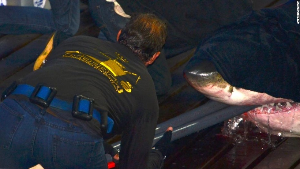 Once on board, McBride will cover the shark's eyes with a dark towel to calm them down. Pipes filled with water are also put in their jaws, to irrigate the gills.
