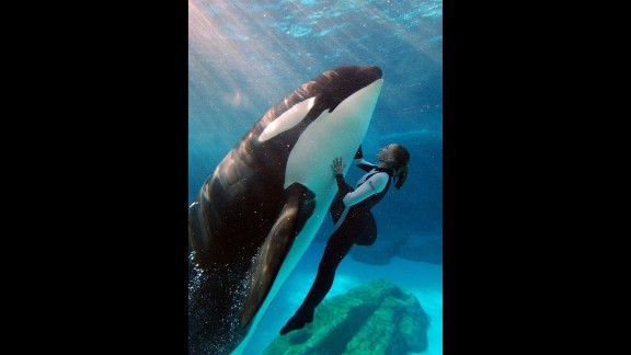 """Killer whales, or orcas, were first put on public display in the 1960s. The best known killer whale shows in the United States are at SeaWorld Parks, which are synonymous with their """"Shamu"""" killer whale shows, seen here."""