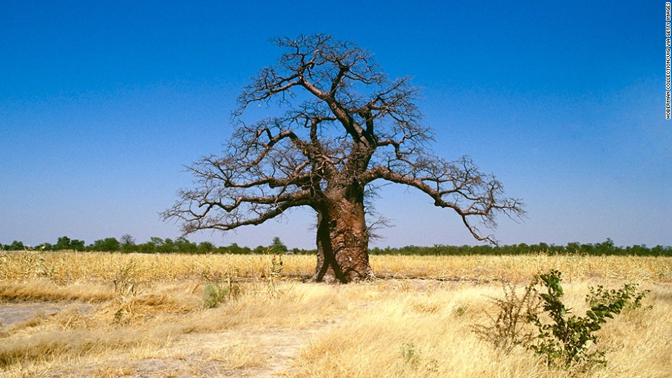 A baobab tree stands alone in South Africa. Cultural beliefs about the baobab tree are deeply rooted in African history. Still today, traditional healers and diviners communicate with their ancestors under its gnarled branches. It's believed that the tree's spirits will guide them in their decision-making. <br />