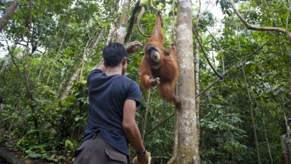 A forest ranger feeds an endangered Sumatran orangutan and baby in a forest in Gunung Leuser National Park in Indonesia's North Sumatra in April.