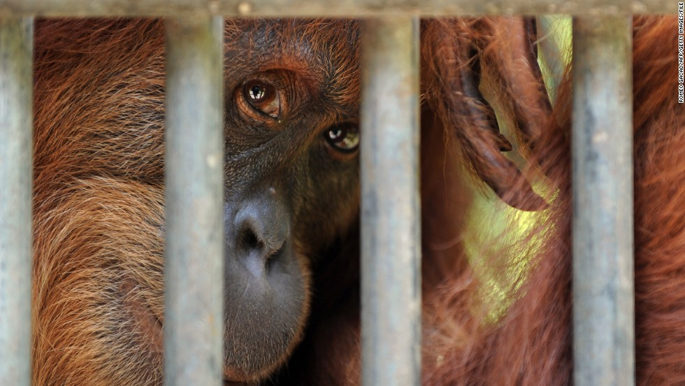 A rescued Sumatran orangutan with a suspected tuberculosis infection is confined at a quarantine center in Sumatra in April.