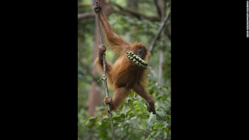 An endangered Sumatran orangutan clings on a vine in a forest of Gunung Leuser National Park in Indonesia's North Sumatra in April.