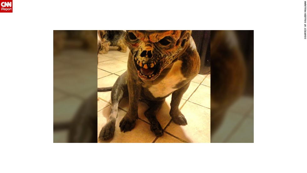 hiding behind that scary mask is chomper the pitbull chomper looks like the