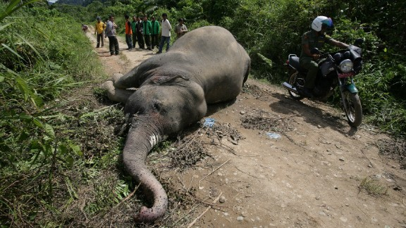 Indonesian wildlife officials and villagers view the body of a rare Sumatran elephant. The destruction of the elephants' habitat has resulted in the them increasingly invading local villages, at times trampling locals to death and destroying homes and crops.