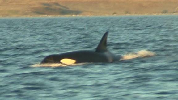 pkg blackfish killer whales martin savidge_00014318.jpg
