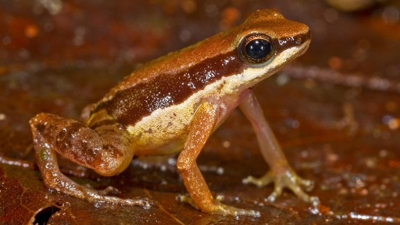 Allobates amissibilis -- Believed to be highly endangered, this amphibian found in Guyana marked the third Allobates species found there.