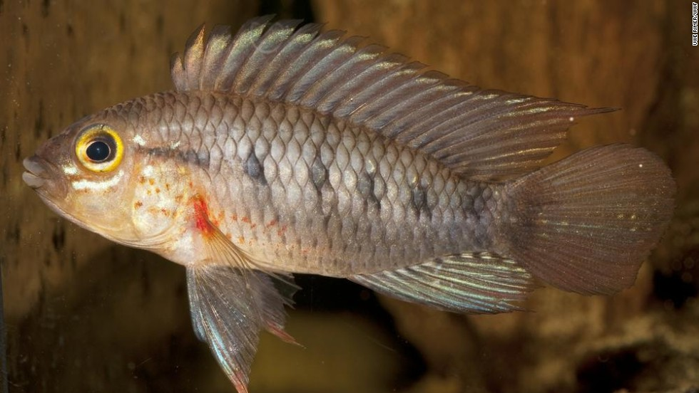 Apistogramma cinilabra -- This fish from the cichlid family is potentially endangered, according to the WWF.
