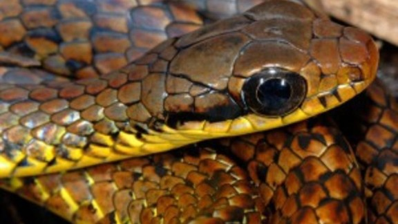 Chironius challenger -- In the mountains of the northern Amazon, snake discoveries are rare, but this critter was found in Tepuis, at 1,500 meters of elevation.