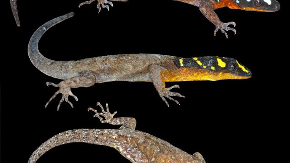 Gonatodes timidus -- In Guyana, this lizard, with a black head with irregular stripes and blotches, can avoid being seen by darting between rocks.