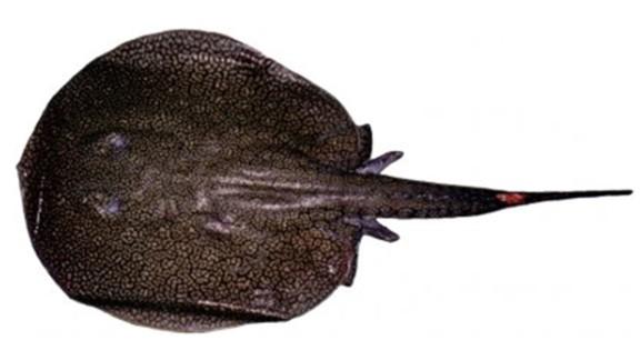 Potamotrygon tatianae -- In Peru, in the Río Madre de Díos, a river stringray was found.