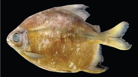 Tometes camunani -- In Brazil's Trombetas River basin, a herbivorous species of piranha was found.