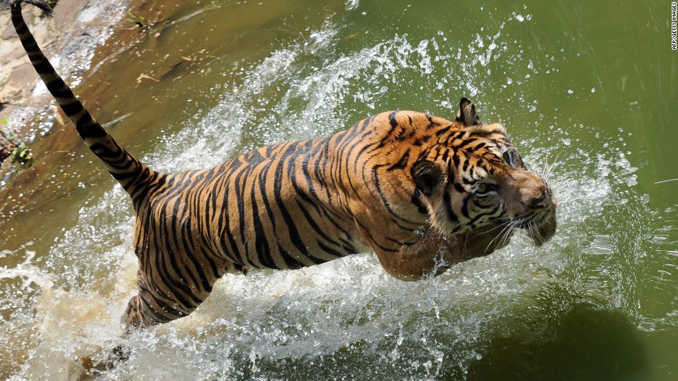 The Final Days Of The Sumatran Tiger Cnn