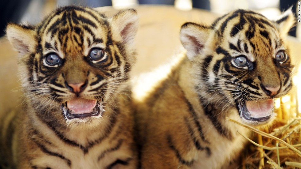 Two six-week-old Sumatran tiger cubs sit in their enclosure at a zoo in Krefeld in west Germany.