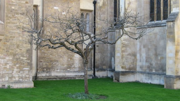 Could this really be the tree under which Sir Isaac Newton sat and conceived the universal theory of gravity as an apple conked him on the head? Well, we