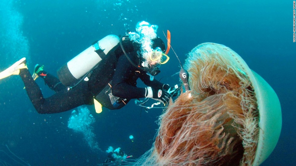 A diver attaches a sensor to a large Nomura's jellyfish off the coast of Komatsu in Ishikawa prefecture, northern Japan. Large schools of these giant jellyfish, which have bodies ranging one to 1.5 meters in diameter, drift into Japanese waters in autumn and damage coastal fisheries.